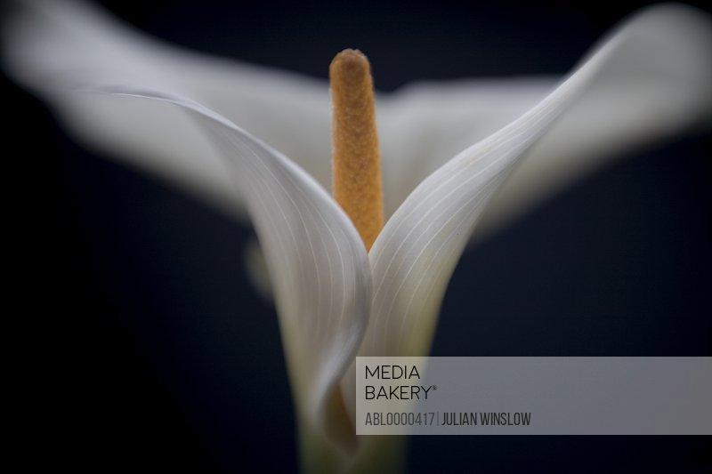 Arum lily         Zantedeschia aethiopica