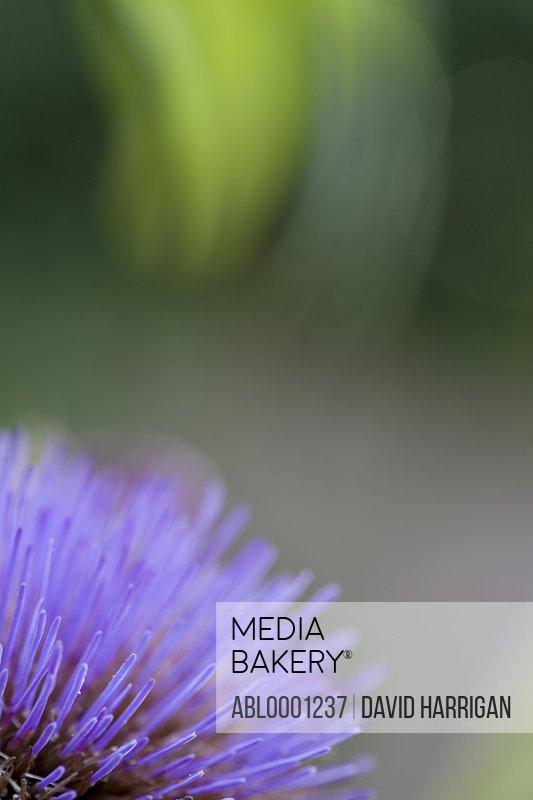 Artichoke thistle flower head - Cynara cardunculus