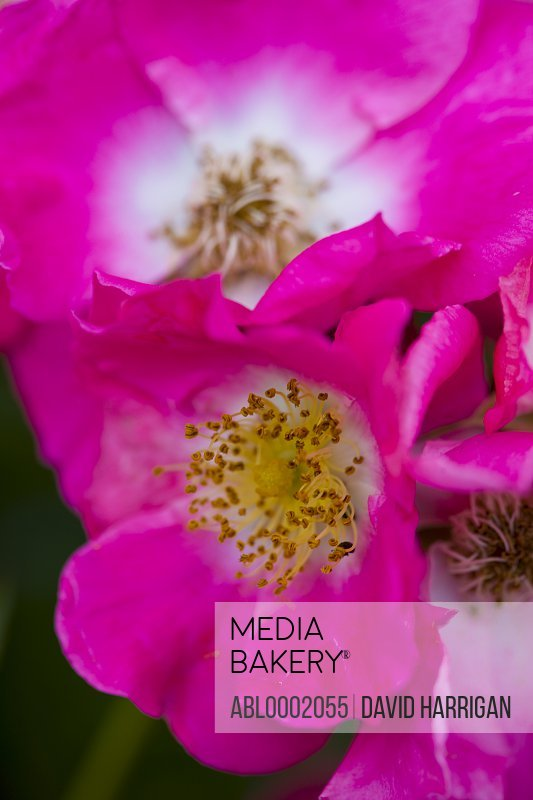 Bright Pink Wild Rose, Rosa acicularis