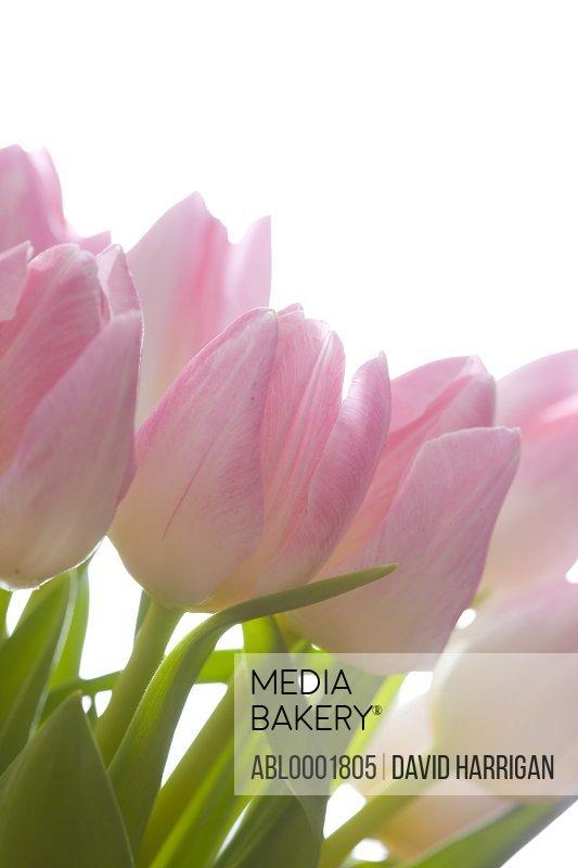 Close up of pink tulips - Tulipa