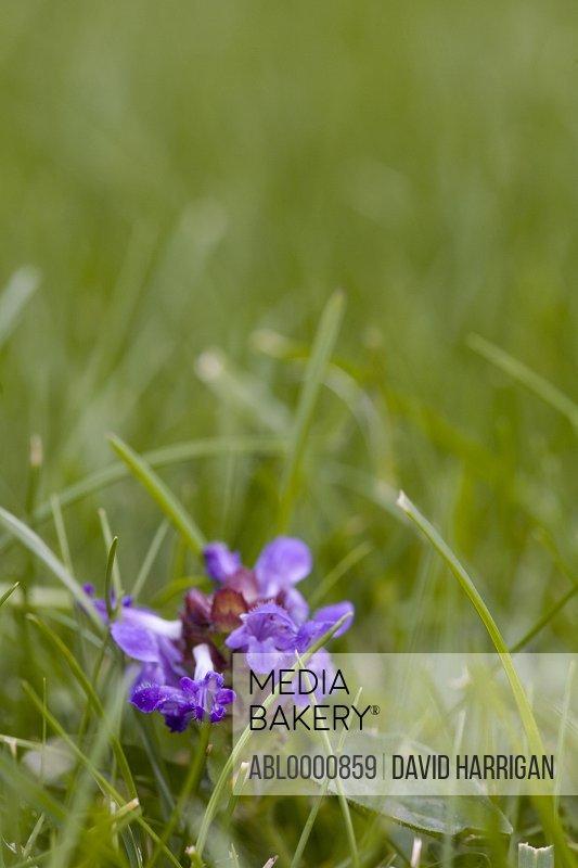 Close up of a self-heal flower - Prunella