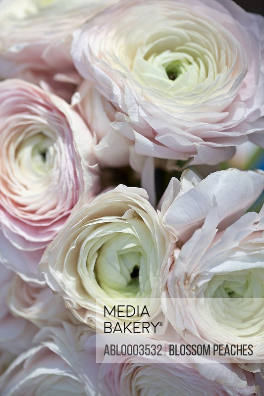 Pale Pink Persian Buttercup Flowers, Full Frame