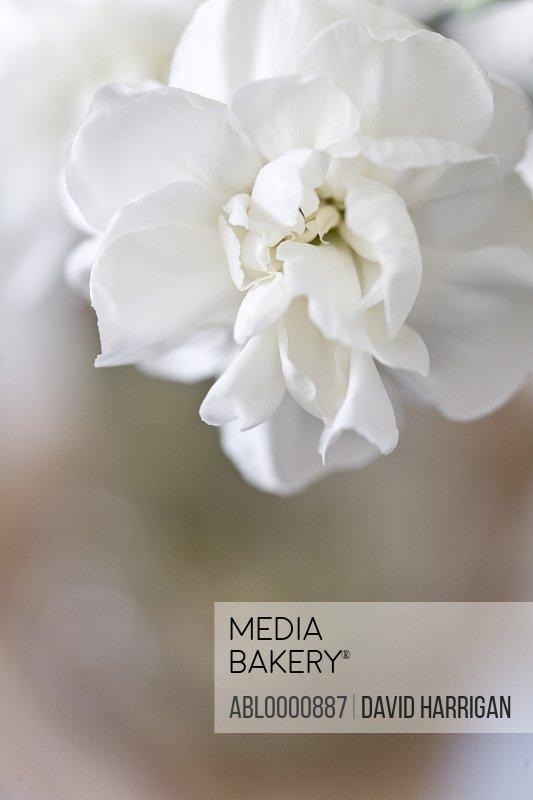 White stock flower - Matthiola