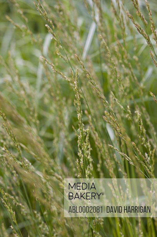 Wild Grass, Poaceae