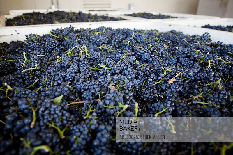 Pinot Noir Grapes in Sorting Container