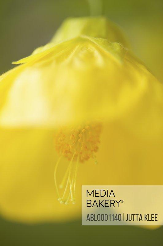 Extreme close up of a canary bird blossom - Abutilon