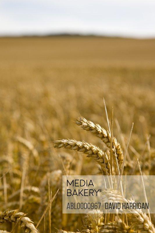 Golden wheat stalks