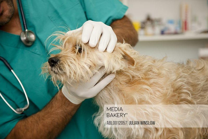 Close up of vet  inspecting dog