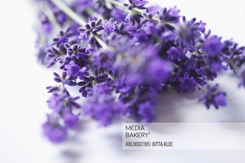 Bundle of Lavender Flowers - Close-up view