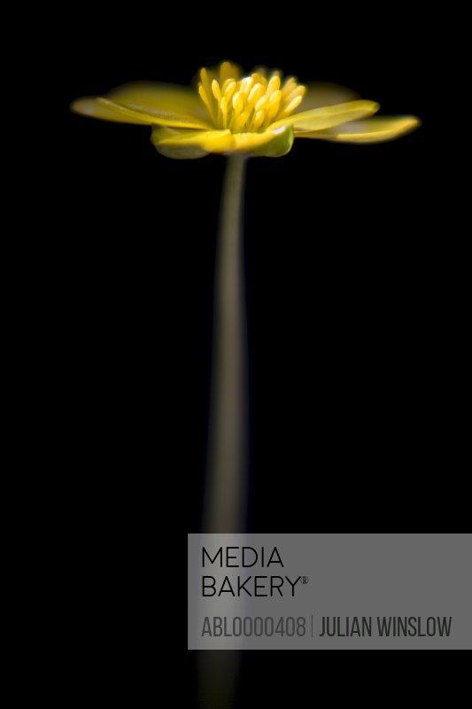 Yellow buttercup   Ranunculus ficaria