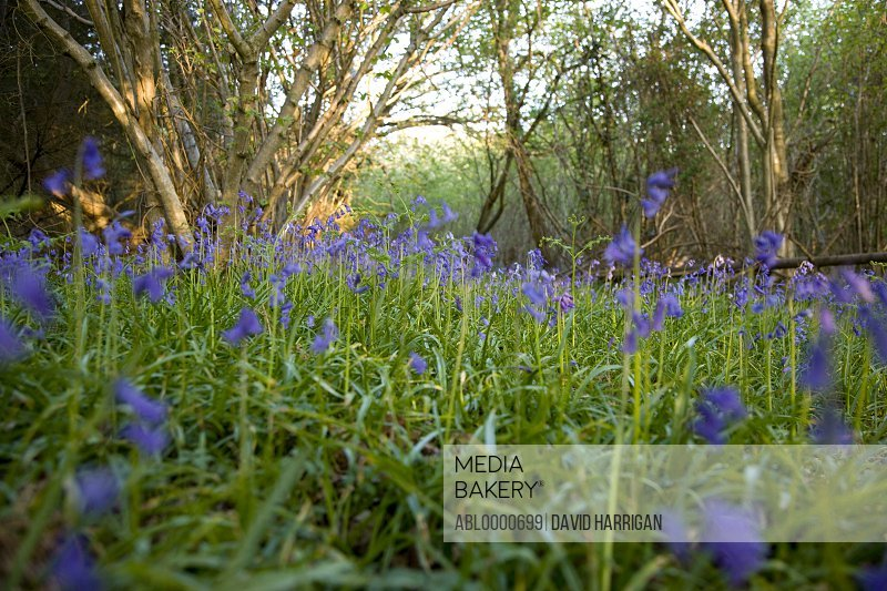 Field of bluebells Hyacinthoides non-scripta