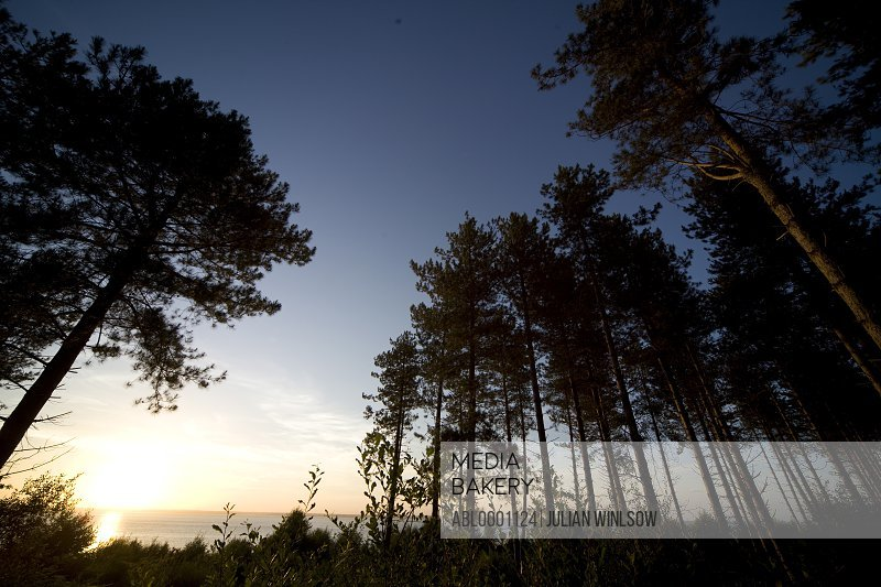 Pine trees with sea and blue sky at sunset
