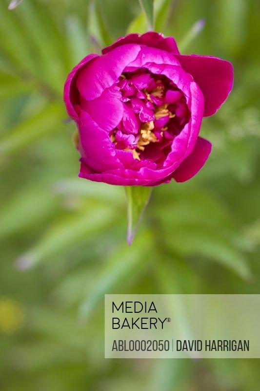 Bright Pink Peony Blossom, Paeonia