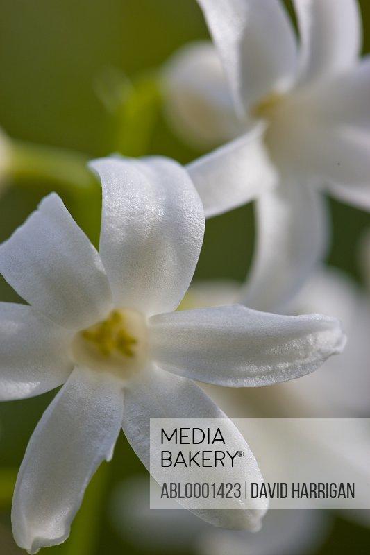 Extreme close up of a white hyacinth blossom - Hyacinthus