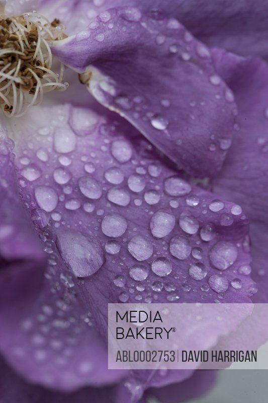 Water Drops on Purple Rose Petals