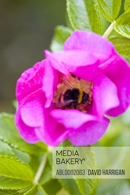 Bumblebee on a Pink Wild Rose