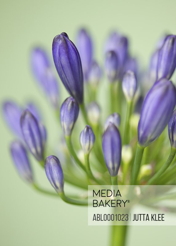 Lily of the Nile - Agapanthus praecox