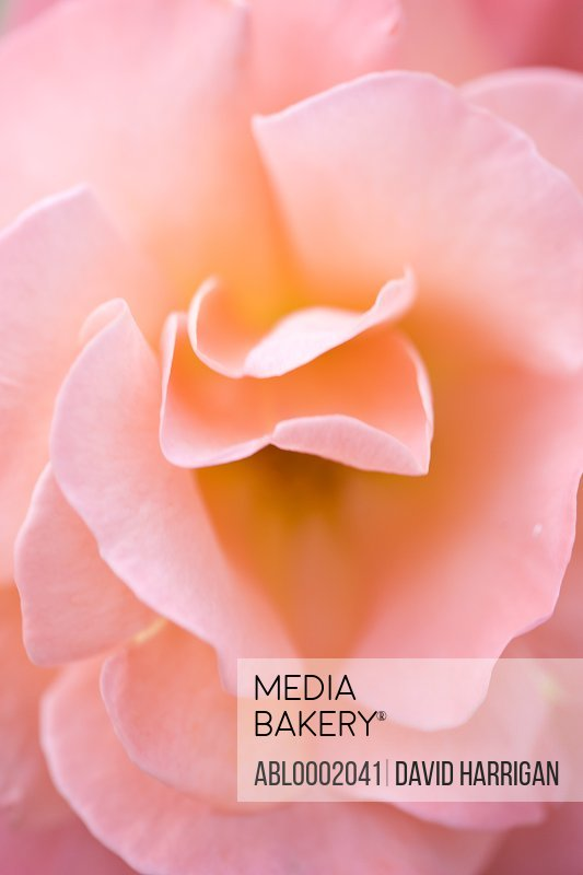 Extreme close up of a pink rose
