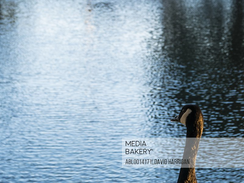Canada Goose on Lake