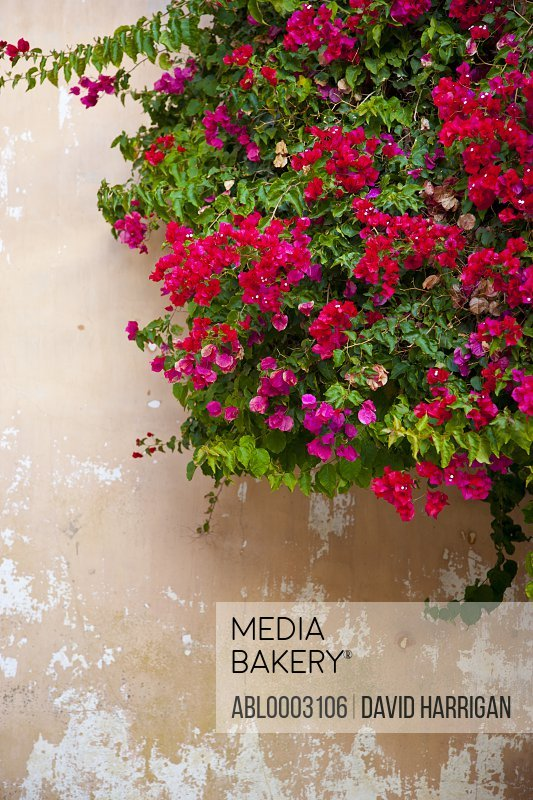 Red and Pink Bougainvillea on Outside Wall