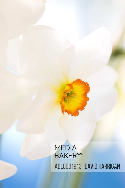 Detail of a narcissus flower, Narcissus Tullybeg