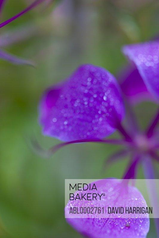 Purple Flower Petals