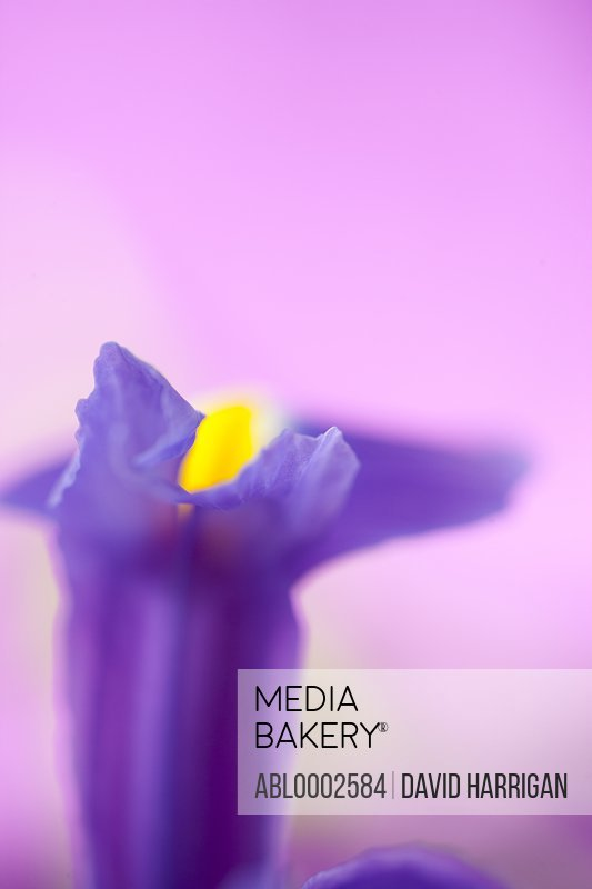 Purple Iris Flower