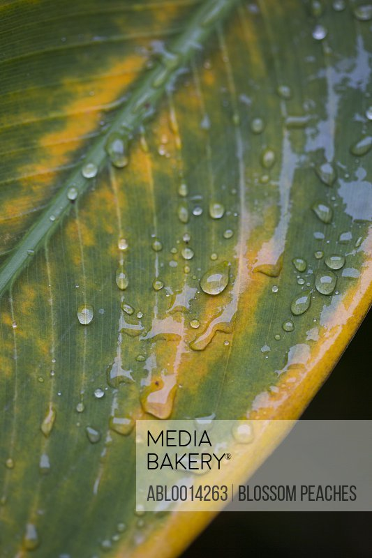 Water Drops on Green Leaf, Close-up view