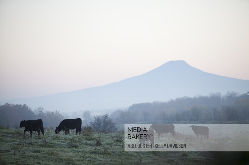 Cows Grazing in Misty Field