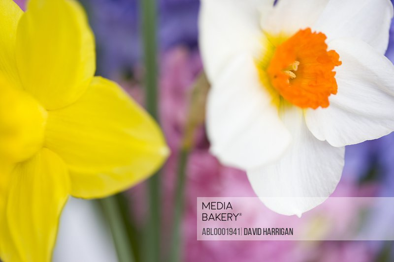 Detail of a white narcissus and a yellow daffodil