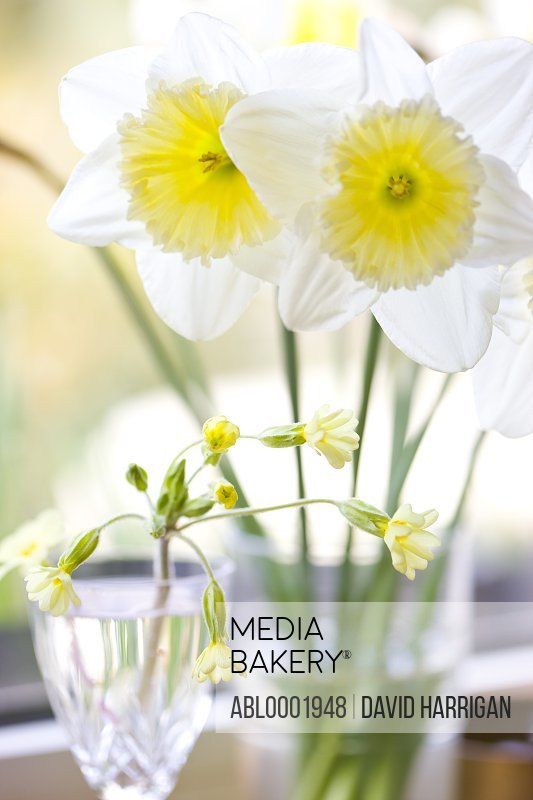 Daffodils and primrose flowers
