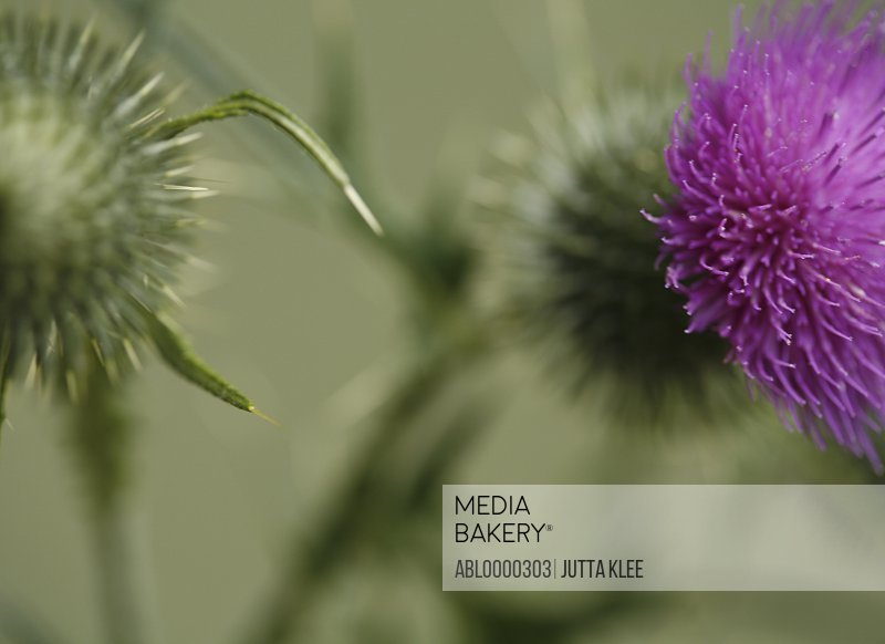 Close up of thistle