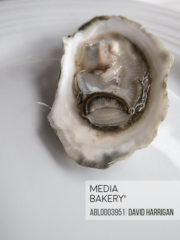 Close up of an Oyster