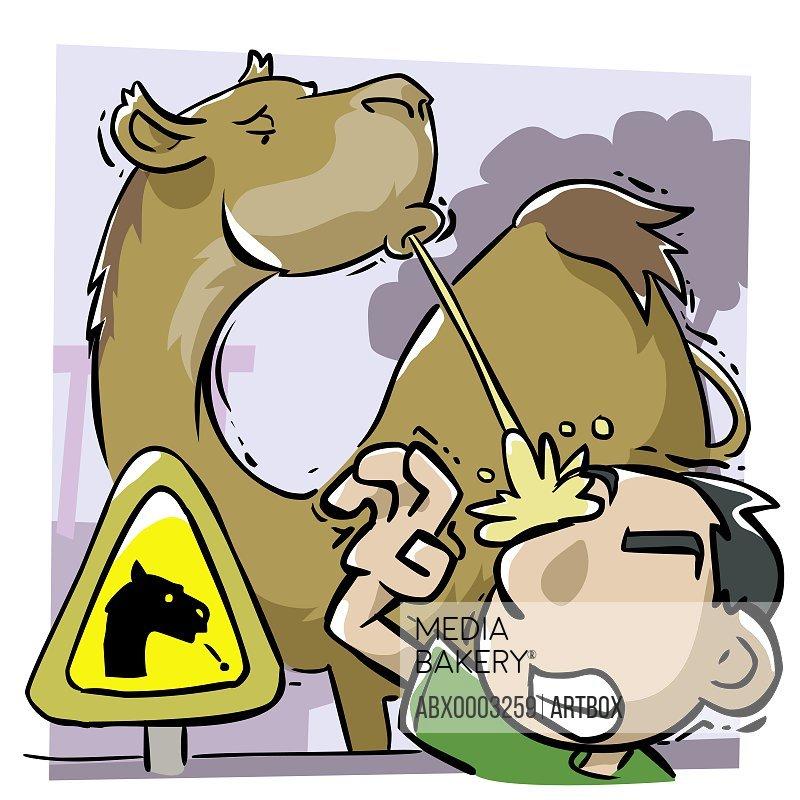 Camel spitting on a man