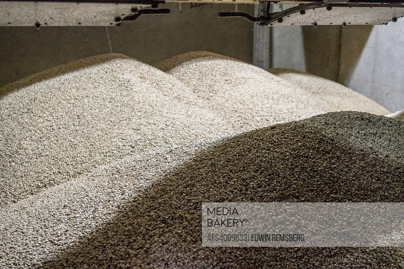 Unroasted (green) coffee beans are piled high in bins at a coffee processing plant located in San Marcos, Costa Rica.