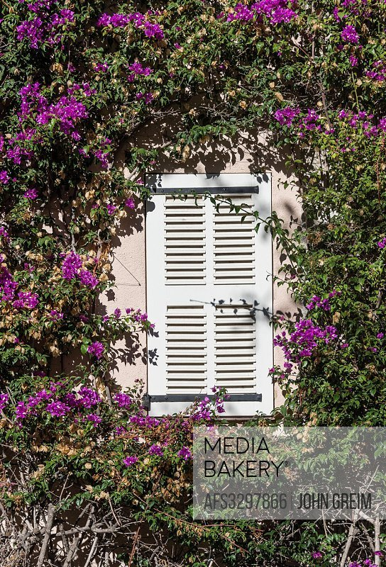 Buganvilla vine frames shuttered window, Saint Tropez, France.