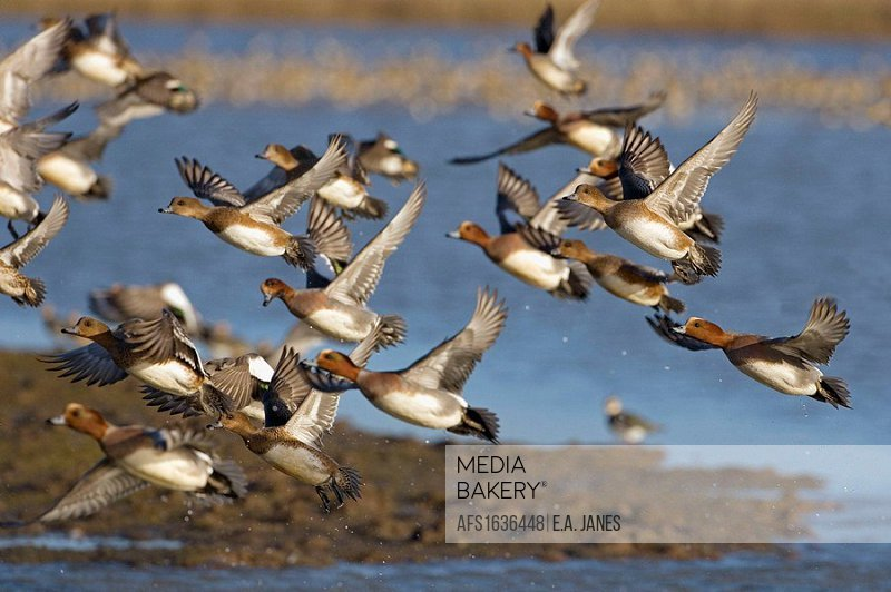 Wigeon Anas penelope males and female
