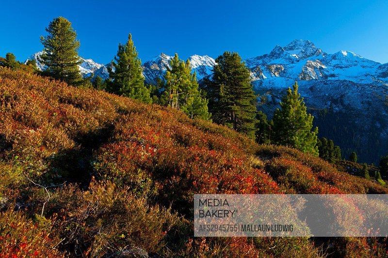 Austria, Europe, Tyrol, Tirol, Kühtai, alp, Feldringalm, trees, Zirben, alp vegetation, shrub vegetation, blueberry shrubs, mountain, mountains, Stuba...
