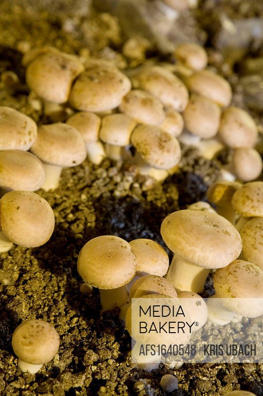 France. Loire Valley. Mushroms Cultivation.