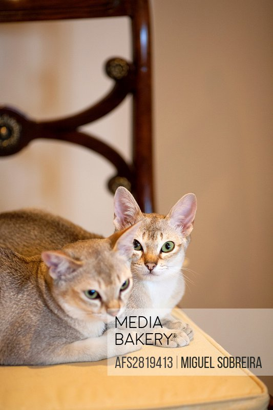 Two Singapura Cats on Seat