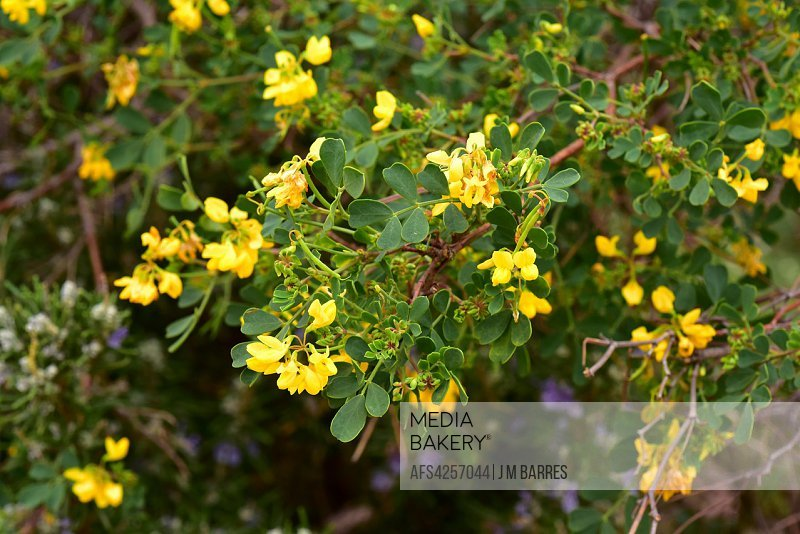 Carolina (Coronilla glauca or Coronilla valentina glauca) is a shrub native to Mediterranean Basin and south Portugal. Flowers, young fruits (legumes)...