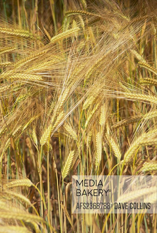 agriculture, barley, cornfield, detail, ears, field, grain, grain field, grain field,