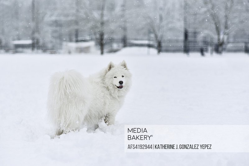 Outdoor portrait of a Samoyed dog in the snow.