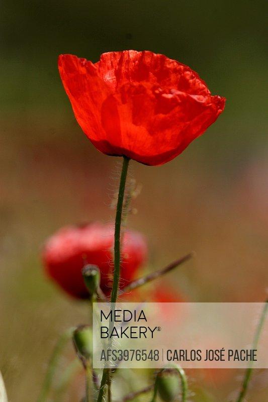 Close up of Poppy (Papaver rhoeas), Spain