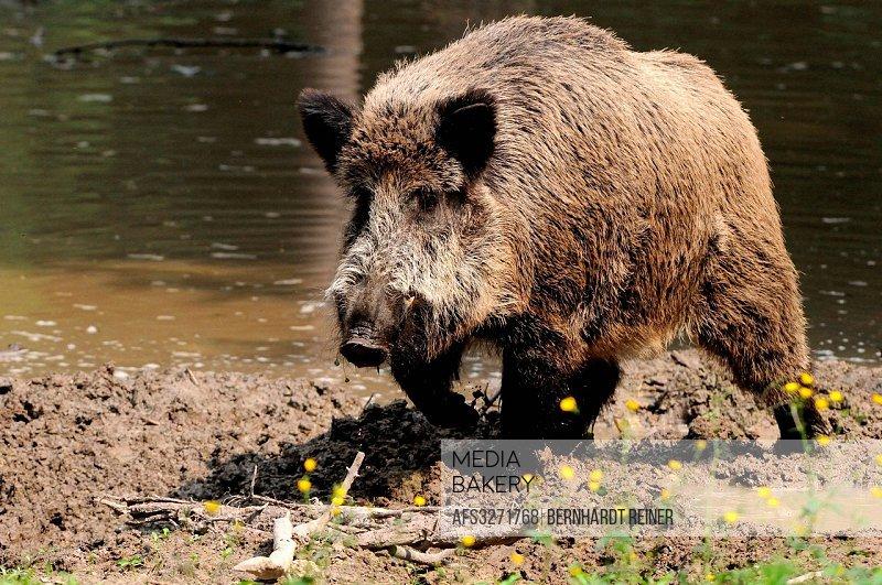 Wild boar, Sus scrofa scrofa, sow, sows, wild boars, cloven-hoofed animal, pigs, pig, vertebrates, mammals, mud, slime, animal, animals, Germany, Euro...