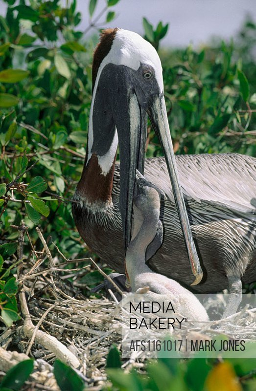 Brown Pelicans (Pelecanus occidentalis). Parent feeding chick. Galápagos Islands, Ecuador