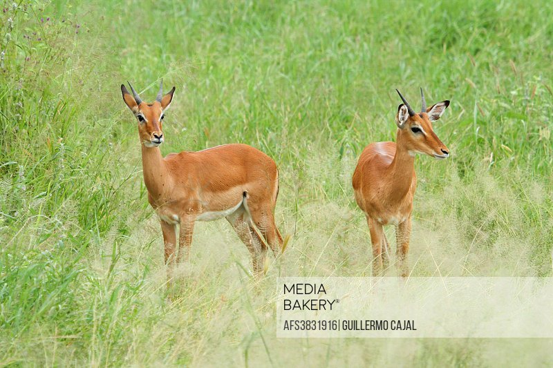 Couple of gazelles in Serengeti