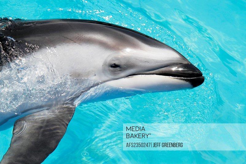 Florida, Miami, Key Biscayne, Miami Seaquarium, dolphin, captive,