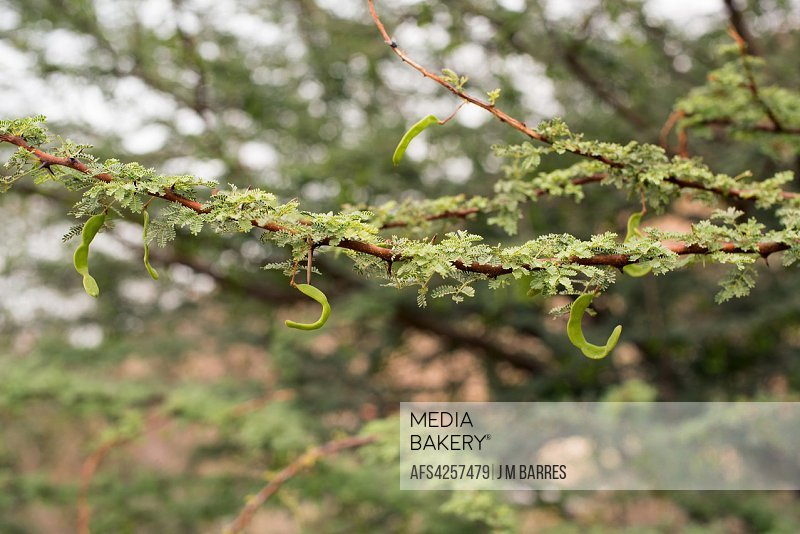 Umbrella thorn acacia (Vachellia tortilis or Acacia tortilis) is a spiny tree native to African Sahel and Midle East. Fruits (legumes) and leaves deta...