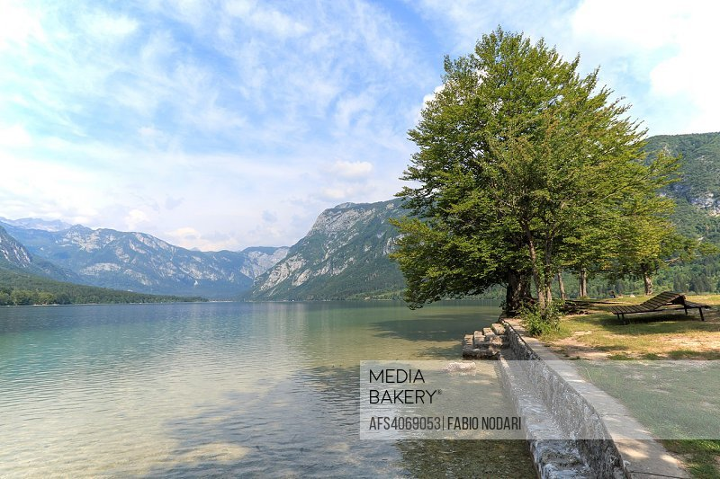 Famous tree on lake Bohinj, a famous destination not far from lake Bled.